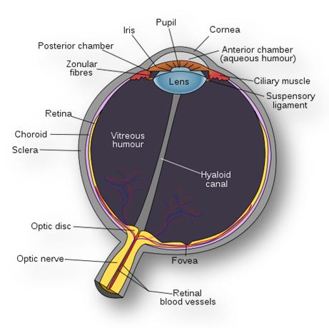 suspensory ligament | VetSci