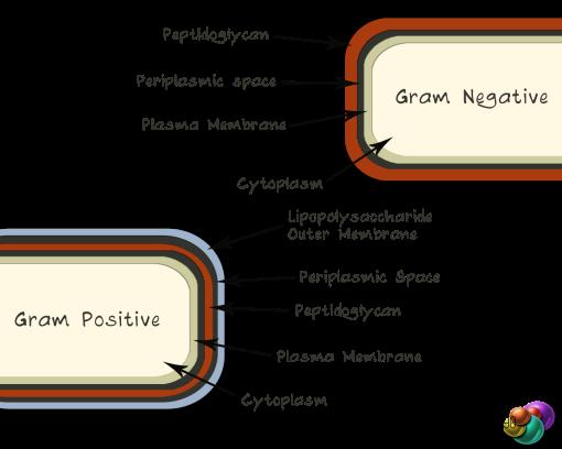 Gram-Negative/Positive